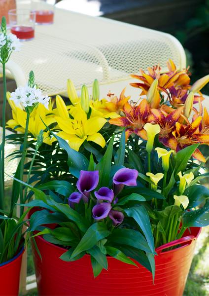 Tuinplant van de maand juli tuincentrum Den Bosch