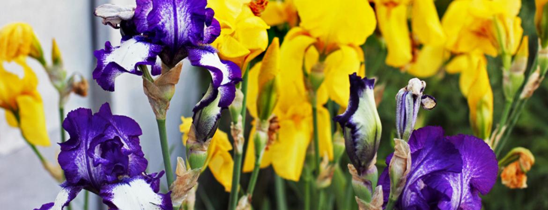 Zomerbolen-bloembollen-tuincentrum