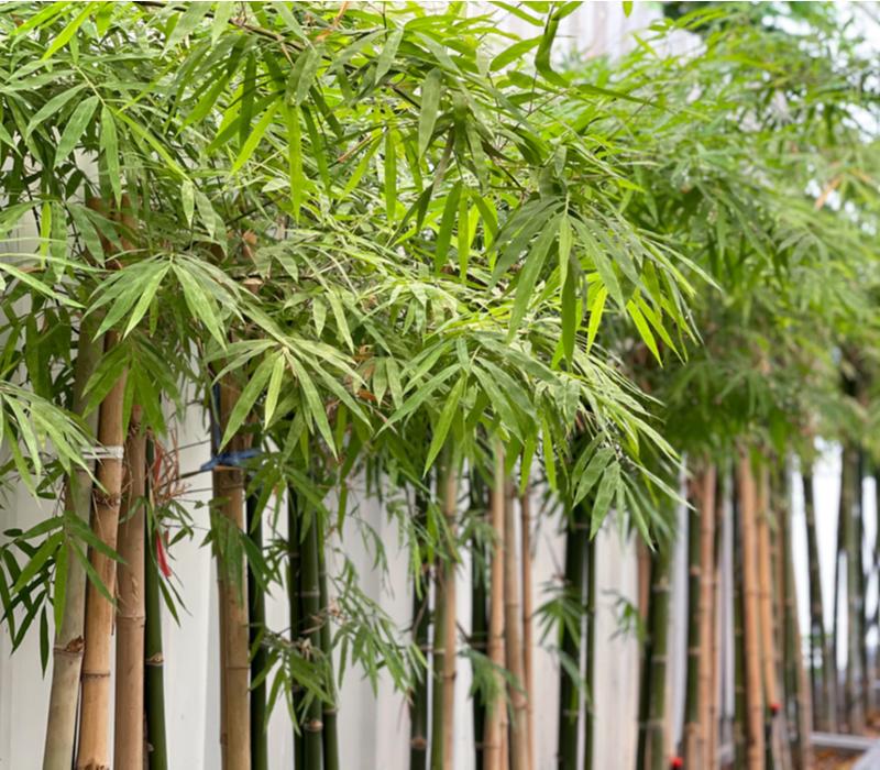 Bamboeplanten kopen   GroenRijk Den Bosch