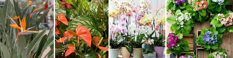 Verzorging bloeiende kamerplanten
