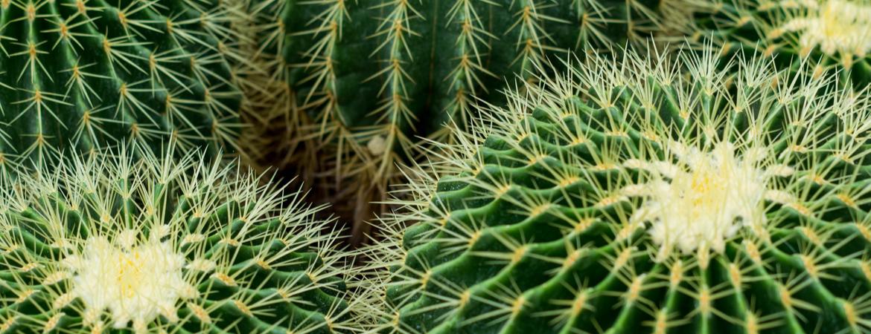 Voordelen cactussen en vetplanten
