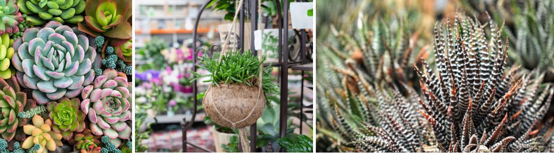 Cactus en vetplant kopen | GroenRijk Den  Bosch