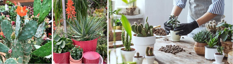 Voordelen cactussen en vetplanten | GroenRijk Den Bosch