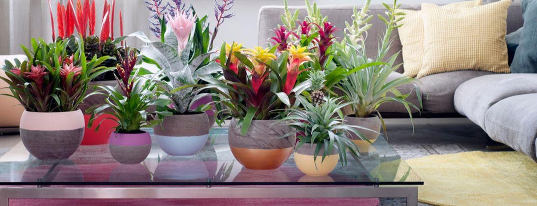 Plantenziektes bij bloeiende kamerplanten