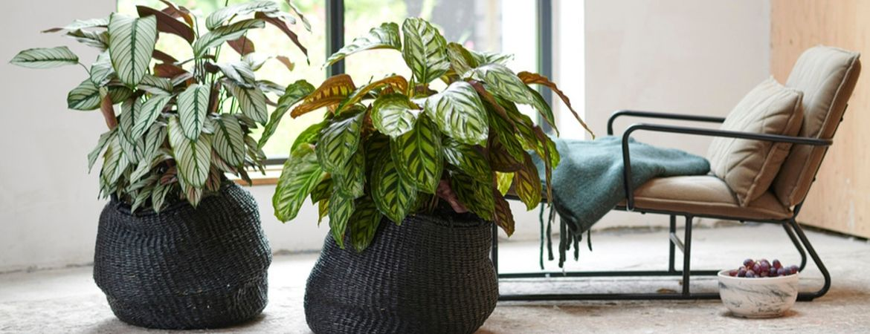 Kamerplanten voor op kantoor of in de winkel