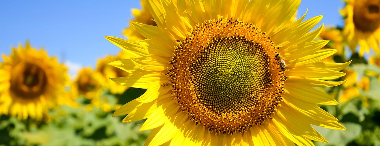 Tips voor zonnebloemen