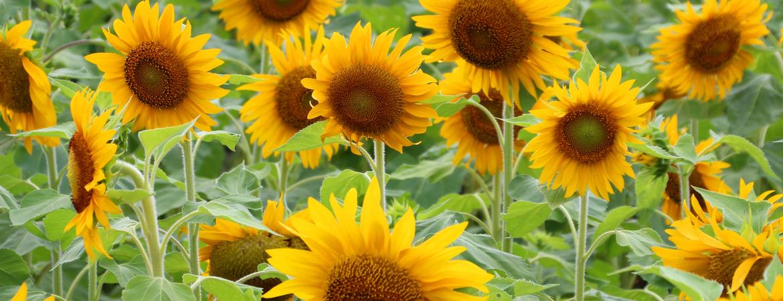 Zonnebloemen kopen in den bosch